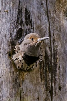 A flicker ready to fledge.