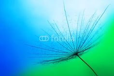 Photo : close up of dandelion on the blue background