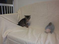Banjo is an adoptable Tabby - Black Cat in Altoona, PA. Banjo, Cats, Animals, Black, Gatos, Animales, Animaux, Black People, Animal