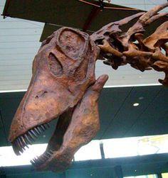 Crâne d'Amargasaurus