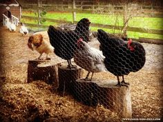 10 Boredom Busters for Chickens