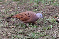 Ruddy Ground-Dove (Columbina talpacoti) Male bird on the ground