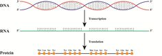 How DNA is transcribed into RNA and afterwards translated into Protein.