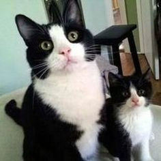 "Have you met my ""mini-me?"" #catbreed"