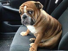 Bulldog passenger funny cute animals eyes dogs test car look drive seat passenger