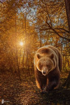 Brown Bear - Photoshop-Work / Brown Bear https://www.facebook.com/FotostyleSchindler / After/Before - http://workupload.com/file/axLCyBzz