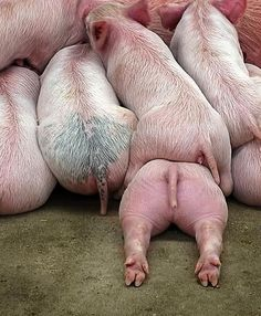 Piggy pile up! Would you LOOK at that cute little piggy hiney. This Little Piggy, Little Pigs, Beautiful Creatures, Animals Beautiful, Cute Baby Animals, Funny Animals, Farm Animals, Small Animals, Cute Pigs