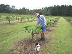 pruning a fig tree - Google Search