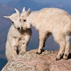 Life is better with friends -- and it looks like these two baby mountain goats agree. Happy Friends Day! Photo by Eivor Kuchta (www.sharetheexperience.org).