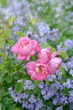 David Austin Roseas - situated against a lovely blue contrast!