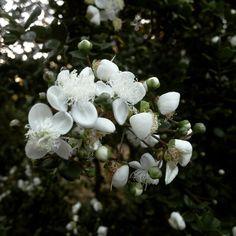 Flor de arrayan Arrayan flower  Nuestra inspiracion / Our inspiration  Rio De Magma at Instagram @riodemagma