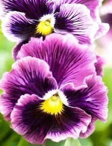 Ruffled Ranger Pansy Flower Seeds 50 Stratified Seeds by Treasures By Lee. $6.99. Easy to grow instructions included. With stands colder temps. Seed count 50 seeds. Fragrant Blooms. Lovely for borders or containers. Comes with a pack of seeds with planting and growing instructions.