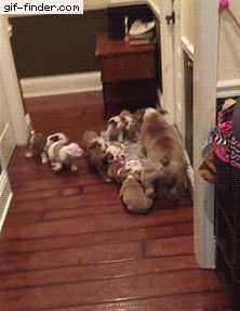 Tired Bulldog Dad Needs Break From His Playful Puppies