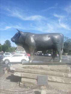 Las vacas en Aubrac son los residentes mas gentiles y alegres de Laguiole. Sus cuernos fueron los primeros materiales utilizados para los cuchillos Laguiole. Conozca la región Laguiole en http://laguiole.es/region-de-aubrac #laguioleespaña