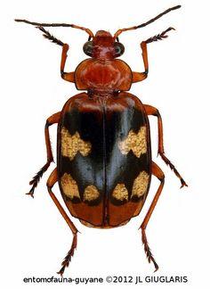 Lebia (Chelonodema) thomsoni  (Chaudoir, 1871)