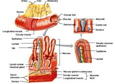 Digestive system - AccessScience from McGraw-Hill Education Mcgraw Hill, Plexus Products, Education, Educational Illustrations, Learning, Studying