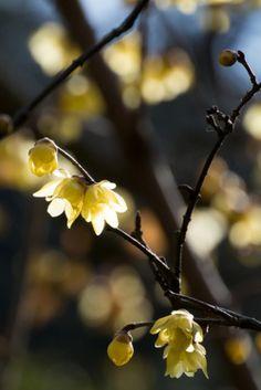 cotton-balls:  Spring is near! prettylittleflower:  Wintersweet (by shinichiro*)
