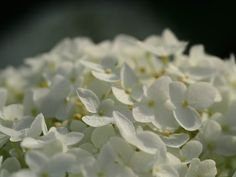 How to Grow Annabelle Hydrangea Annabelle hydrangeas are attractive shrubs that produce clusters of White Flowers, Annabelle Hydrangea, Flowering Shrubs, Hydrangea Fertilizer, Hydrangea Care, Greenhouse Gardening, Shade Plants, Outside Plants, White Flowers Garden