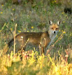 Fox Fantastic Fox, Fox Pictures, Red Pandas, Reptiles, Bella, Habitats, Natural Beauty, Cute Animals, Wildlife