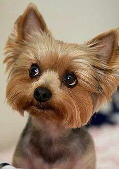 Mini yorkshire terrier #YorkshireTerrier