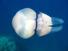 Jellyfish in the sea of Resort La Francesca by#Cinqueterre,It