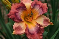"""Like a Shepherd""  Sandy Nall Intros available at Bayou Bend Daylilies,"