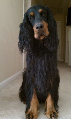 Gordon Setter - oh boy, do I know this face!