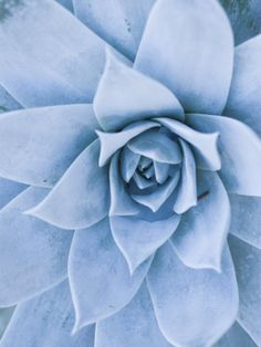 Close-Up of Blue Green Echeveria Succulent Plant, California Photographic Print by James Forte at AllPosters.com
