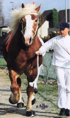 Flemmish horse