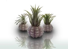 Hey, I found this really awesome Etsy listing at https://www.etsy.com/listing/291151263/air-plant-holder-sea-urchin-tillandsia