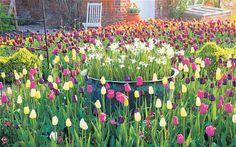 Spring glory: at Ulting Wick, Tulipa 'Queen of the Night' (dark), 'Barcelona' (pink), 'Maureen' (cream), 'Negrita' (magenta) behind and Narc...