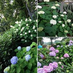 Texas-Style Snowballs..Blue, White and   Oak leaf. Hydrangeas abloom!  Call (903) 597-7421 Online www.breedlovelandscape.com  #breedlovelandscape #breedlovenurseryandlandscape #tyler #texas #tylertx #tylertexas #breedlovelandscapetyler #breedlovelandscapetylertx #breedlovelandscapetylertexas #hydrangeas #hydrangea #blueleaf #whiteleaf #texasstylesnowballs #texassnowballs #blueleafhydrangeas #whiteleafhydrangeas #blueleafhydrangea #whiteleafhydrangea #oakleaf #oakleafhydrangeas…