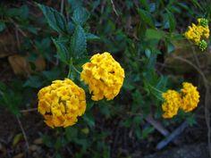 Lantana repens (lantana amarela): arbusto perene de pequeno porte, muito utilizado para bordaduras e maciços. A planta de floração amarela prefere solos orgânicos e tolera geadas