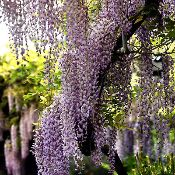 Wisteria vine growing all around the house. The smell is unbelievably sweet.