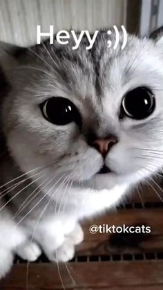 Cute Cat #cat #cats #catlovers #catvideos #catmemes #catfunnyvideos #catsoftiktok Cat Jokes, Funny Animal Jokes, Grumpy Cat Humor, Funny Cat Memes, Funny Animal Videos, Cute Funny Animals, Funny Animal Pictures, Funny Cats, Grumpy Cat Quotes