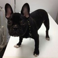 Enzo my french bulldog 5 months old :)