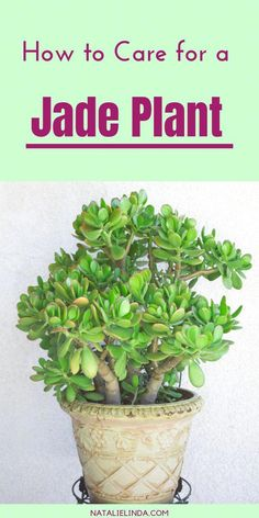 House Plants 39124 Jade plants are beautiful succulents that are very easy to care for! They make excellent houseplants and can also be grown in outdoor gardens. Learn how to grow jade plants with this simple how-to post! Crassula Ovata, Crassula Succulent, Succulent Gardening, Succulents Garden, Container Gardening, Organic Gardening, Planting Flowers, Indoor Gardening, Succulent Outdoor