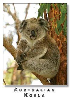 Australian Koala  PC307