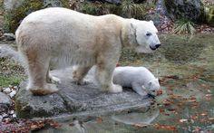 Kameraları İlk Kez Gören Kutup Ayısının Sevimli Halleri / Cute States of Polar Bear