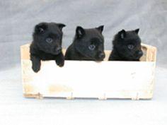 Schipperke   -   pups