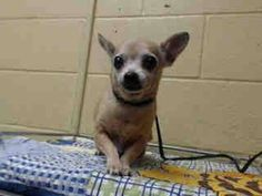 """COOKIE WAS SURRENDERED WITH HER 10 YEAR OLD FRIEND BECAUSE """" SHE IS OLD"""" SHE WEIGHS 6.7 LBS AND IS 8 YEARS OLD. A4791594 My name is Cookie and I'm an approximately 8 year old female chihuahua sh. I am not yet spayed. I have been at the Downey Animal Care Center since January 13, 2015, available on Jan, 13, 2015. You can visit me at my temporary home at D420. https://www.facebook.com/photo.php?fbid=796361153777552&set=a.621812584565744&type=3&theater"""