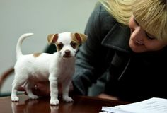 Jack Russell and Chihuahua mix! ♥ www.cartelpoker.c...