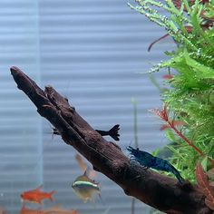 """Shrimp definitely help with algae, but a """"cleanup crew"""" is not a solution! You need to diagnose and correct the root cause of the algae in order to get rid of it. Usually the cause is excess…More Aquarium Setup, Nano Aquarium, Aquarium Garden, Aquarium Design, Aquarium Aquascape, Freshwater Aquarium Shrimp, Shrimp Tank, Tropical Fish Aquarium, Tanked Aquariums"""