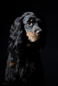 Gordon Setter dog art portraits, photographs, information and just plain fun. Also see how artist Kline draws his 110 different dog breeds using only words at drawDOGS.com #drawDOGS He also can add your dog's name into the lithograph.