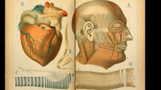 'An Atlas of Anatomy: or, Pictures of the Human Body in Twenty-Four Quartro Coloured Plates Comprising one Hundred Separate Figures, with Descriptive Letterpress' by Mrs Florence Fenwick Miller, The Human Body, Phrenology Head, Florence, Photo Avion, Anatomical Heart, Human Heart, Human Anatomy, Letterpress, Art Images
