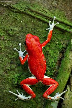 "Oophaga pumilio,  or ""strawberry poison-dart frog"", Bastimentos morph"