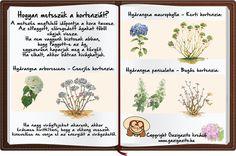 INFOGRAFIKÁK - gazigazito.hu Hydrangea, Place Card Holders, Flowers, Plants, Gardening, Google, Lawn And Garden, Hydrangeas, Plant