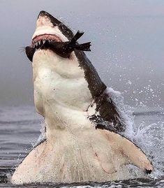 The Great White Shark is the ultimate apex predator, growing to over 1 tonne in size and eating up to 11 tonnes of food a year 🦈   These… Shark Pictures, Shark Photos, Predator Hunting, Apex Predator, The Great White, Great White Shark, Animals And Pets, Cute Animals, Animals Sea