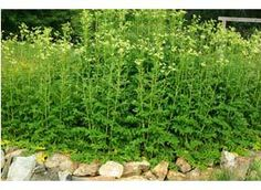 Mountain Rose Herbs: Meadowsweet Seeds Waist high bushes with sweet golden inflorescences (2nd year) that taste like nectar. The leaves of this wonderful plant are anti-inflammatory and provide pain relief. Does best in rich, moist soil with partial shade.