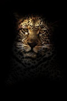 Leopard In The Dark | Photo By Rudi Hulshof